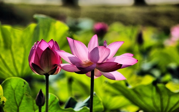 Feel Good Group - A picture of two pink Lotus flowers in the sunshine - A reminder of all that is beautiful in my life!